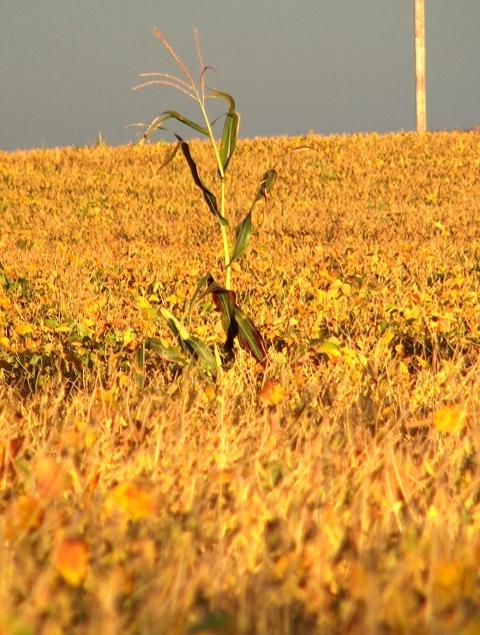 CornStandingAlone