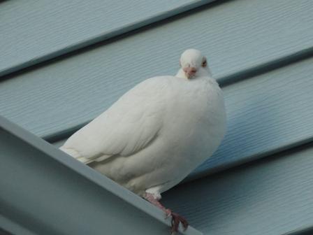 WhitePigeon
